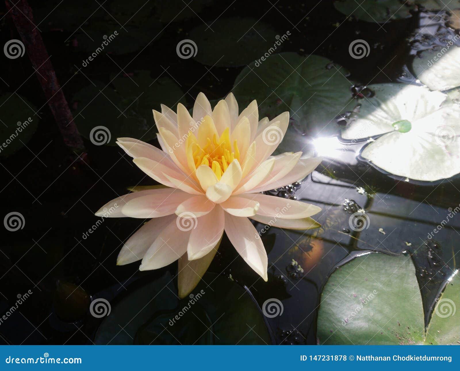 白莲教在有温暖的光的池塘