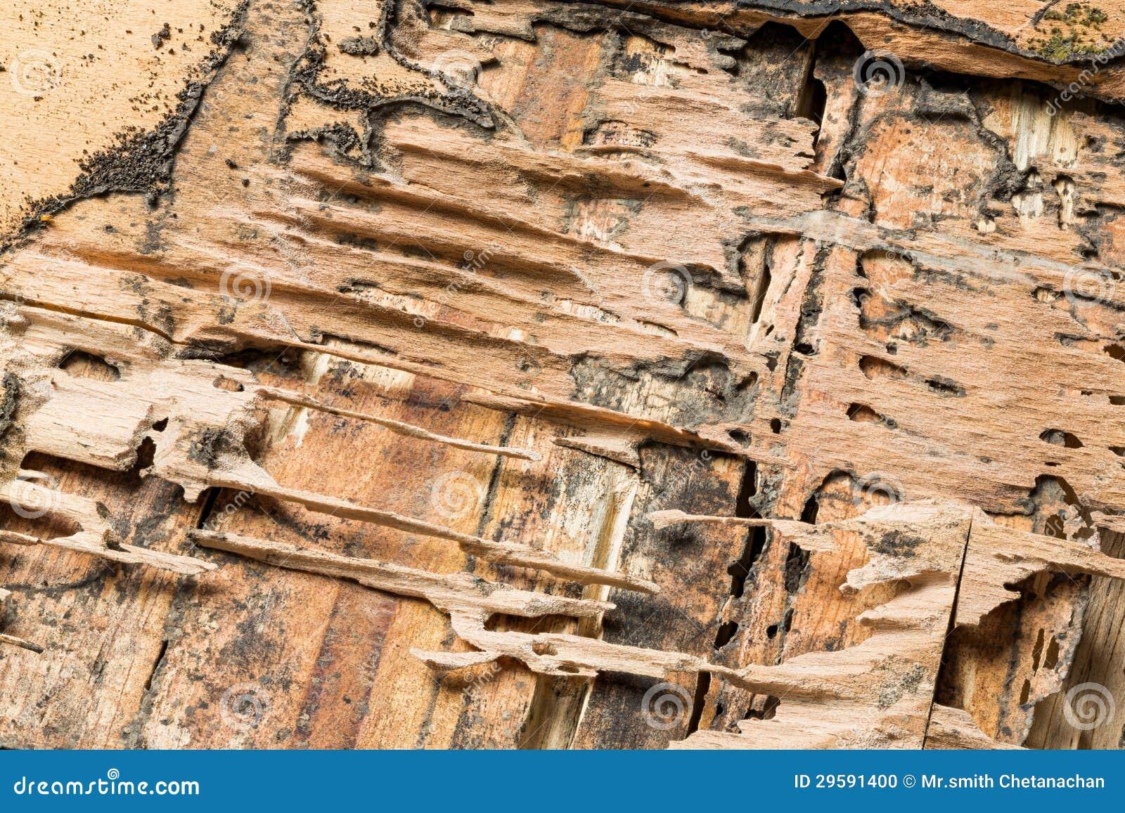 白蚁吃的木头 库存照片 图片 29591400