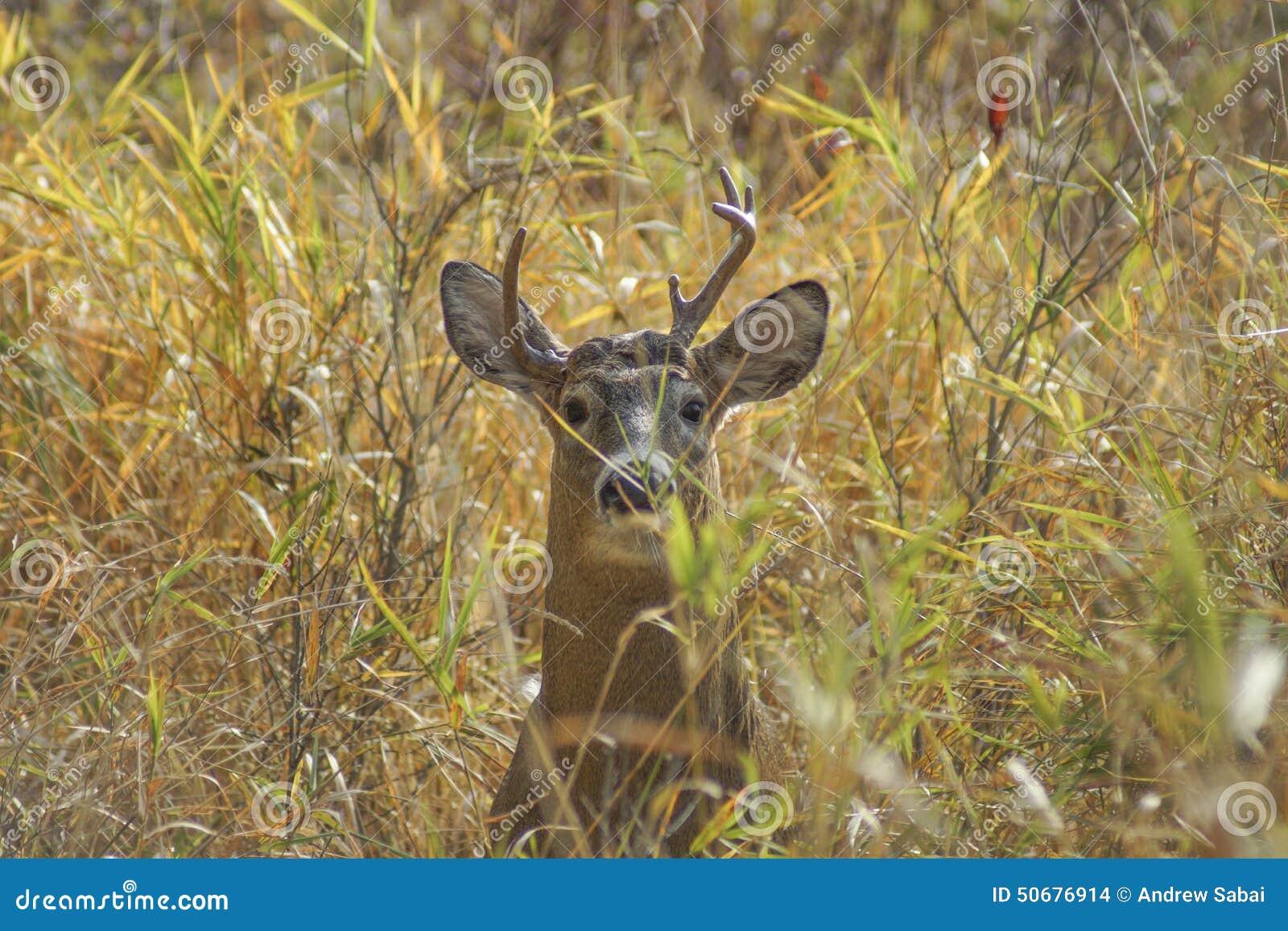Download 白被盯梢的鹿 库存照片. 图片 包括有 牛仔, 空白, 白尾鹿, 抗氧剂, 查找, 眼睛, 车轮痕迹, 盯梢 - 50676914