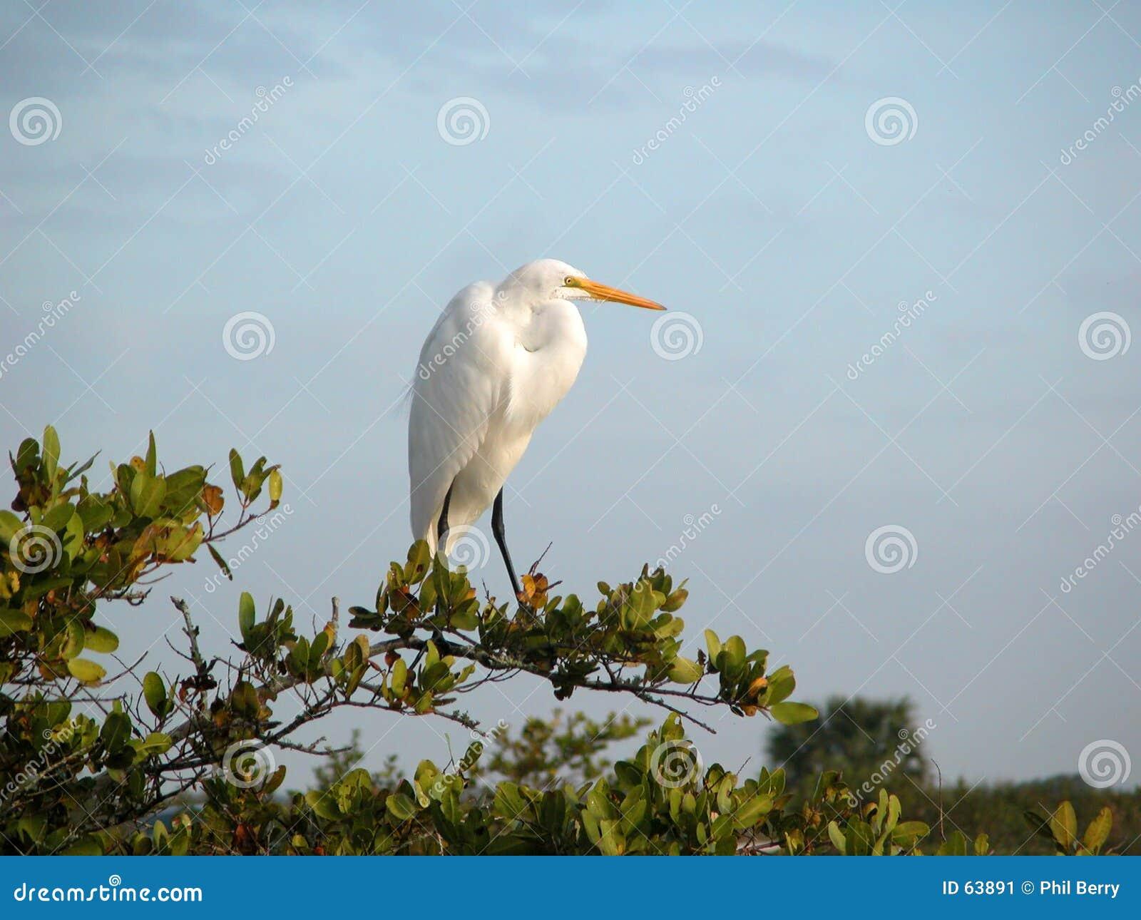 白鹭巨大白色
