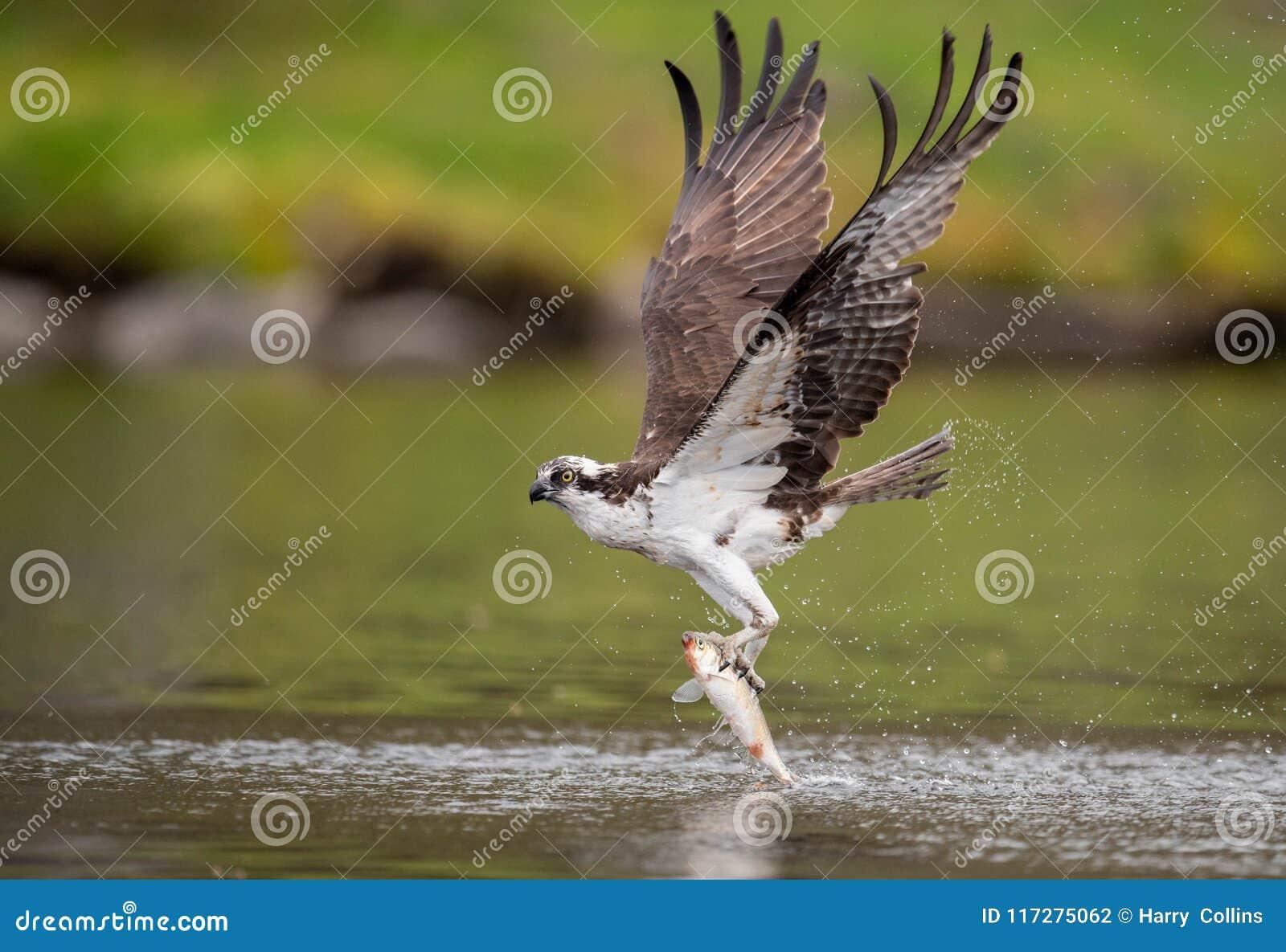 白鹭的羽毛在缅因