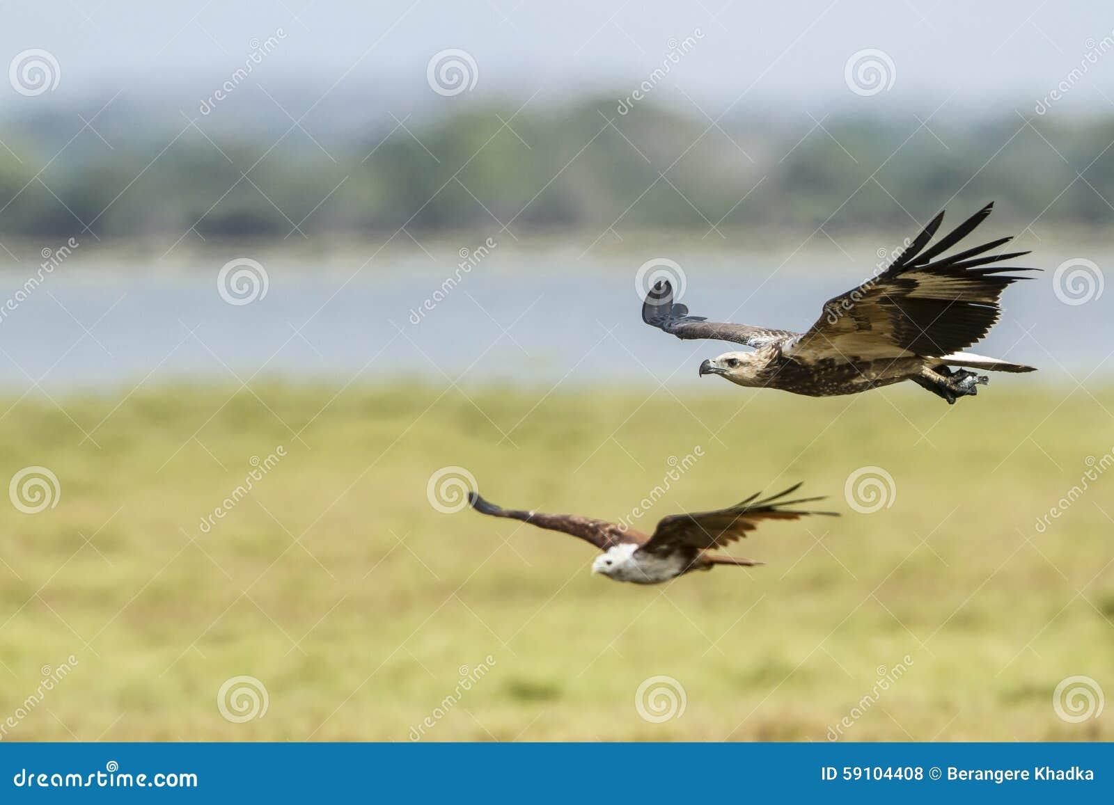 白鼓起的海鹰在Arugam海湾盐水湖,斯里兰卡