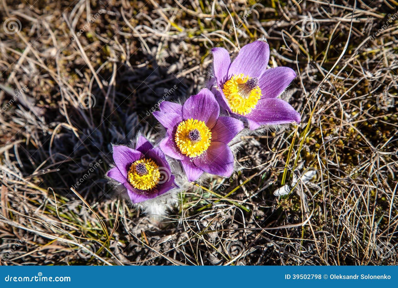白头翁属vernalis在春天