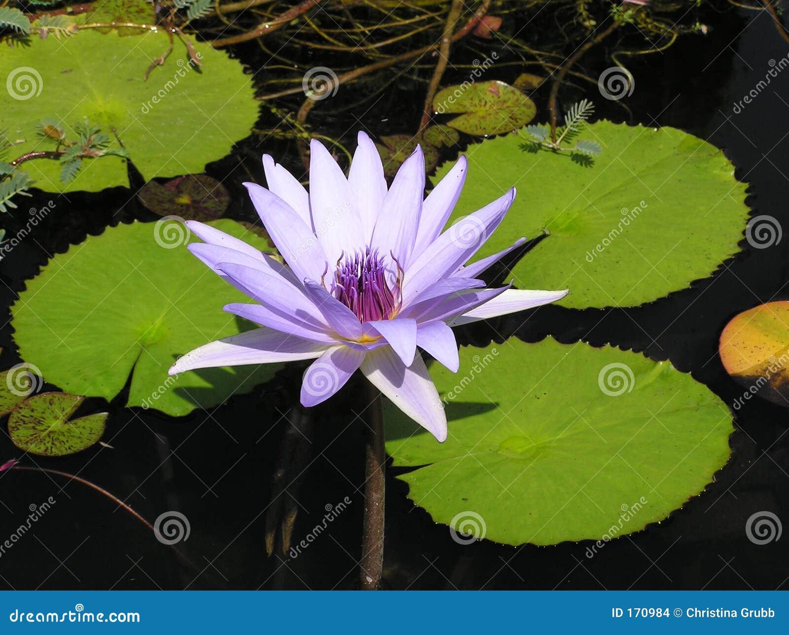 百合紫色水