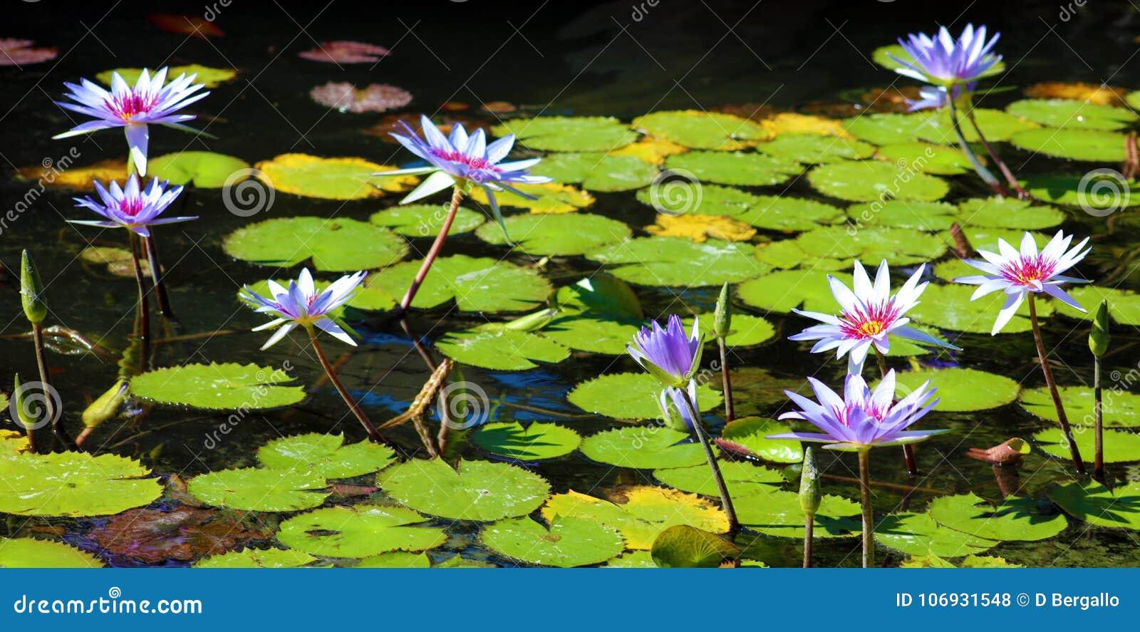 百合花loto紫色弗洛尔de loto beautful颜色