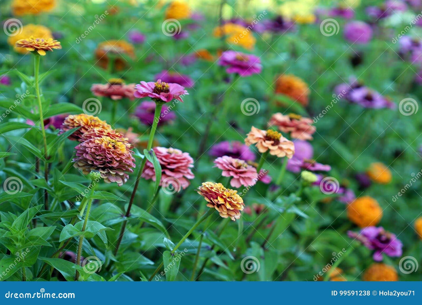 百日菊属在炫耀的草甸