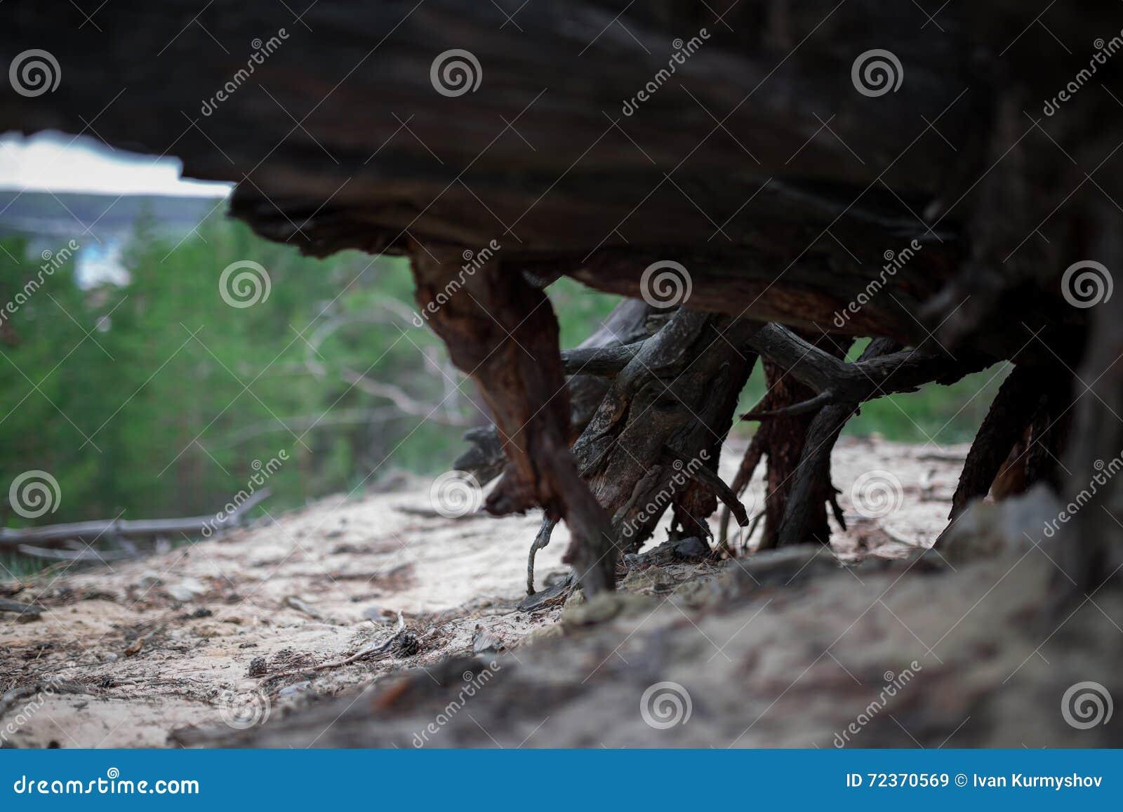 死的树桩树干燥根在森林里