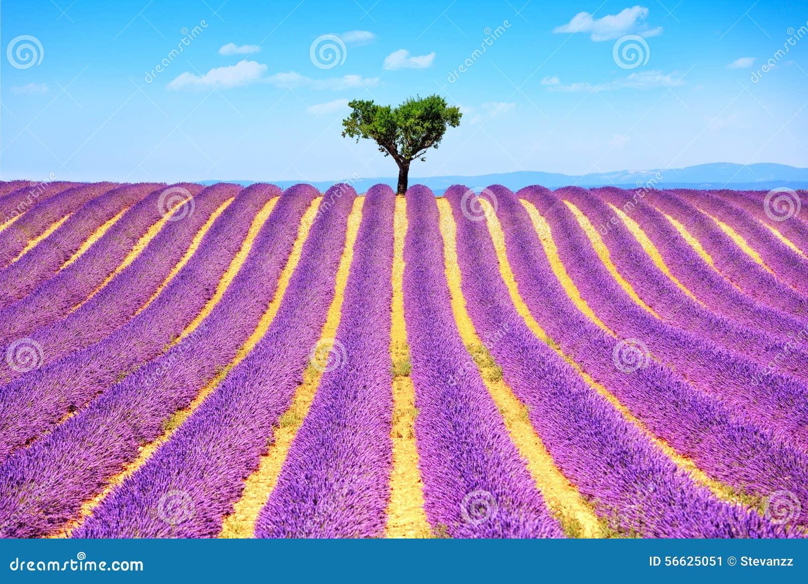 的淡紫色和艰难偏僻的树 法国普罗旺斯