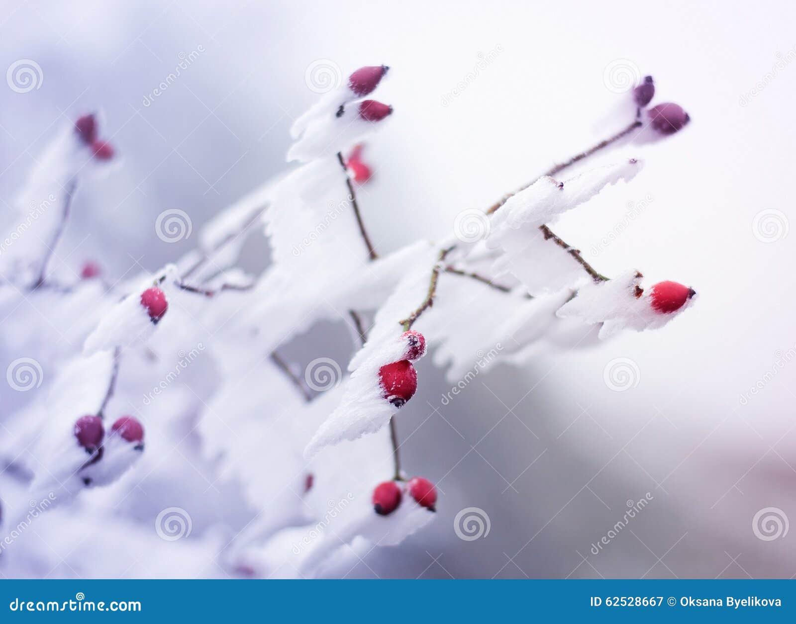 冻结的野蔷薇