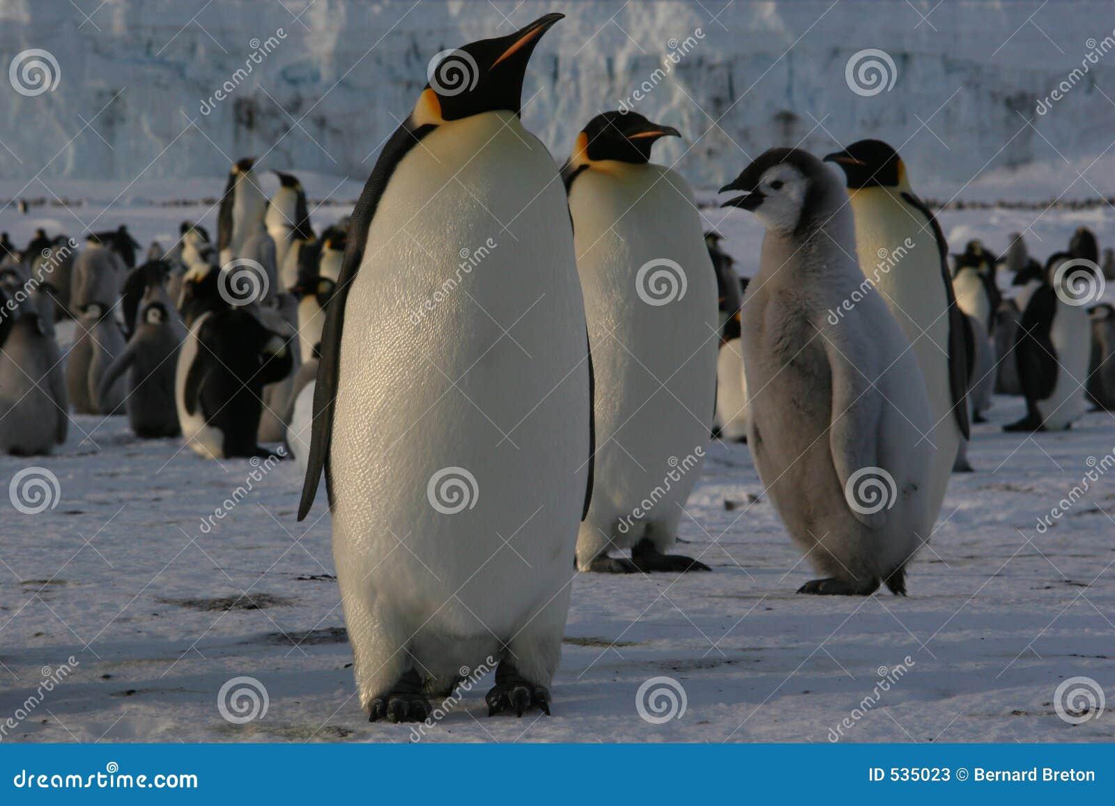 Download 皇企鹅 库存图片. 图片 包括有 antares, 冬天, 极性, 浮冰, 空白, 茴香, 罗斯, 企鹅, 敌意 - 535023