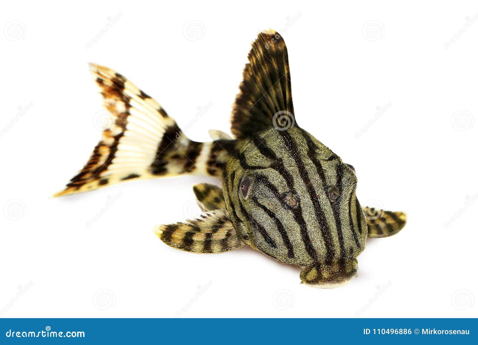 皇家Pleco Panaque nigrolineatus或者皇家plec水族馆鱼