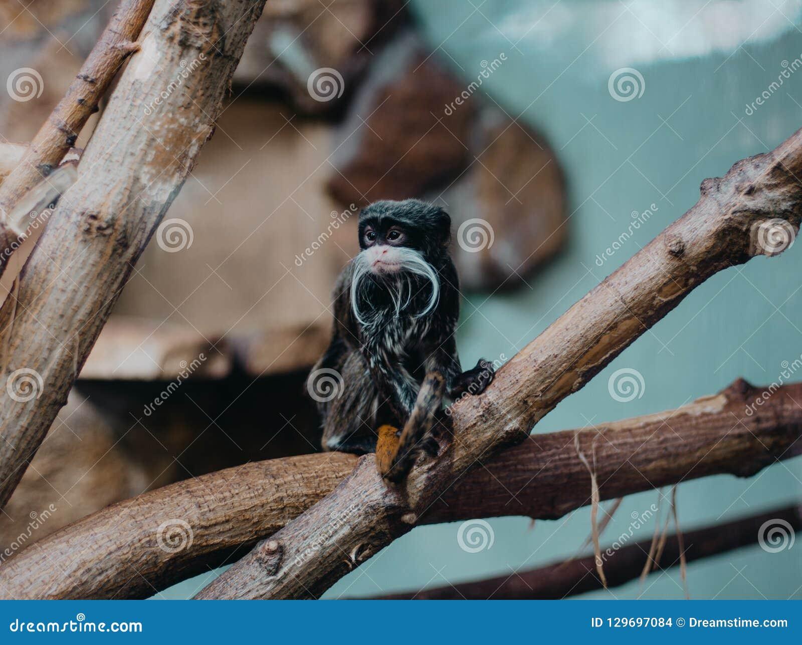 皇帝绢毛猴,Saguinus imperator,在树的髭猴子
