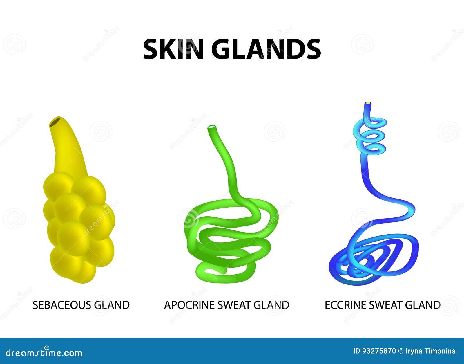 皮肤的封垫的结构 脂肪,外分泌腺的汗水,顶质分泌的汗水 集合 Infographics 也corel凹道例证向量