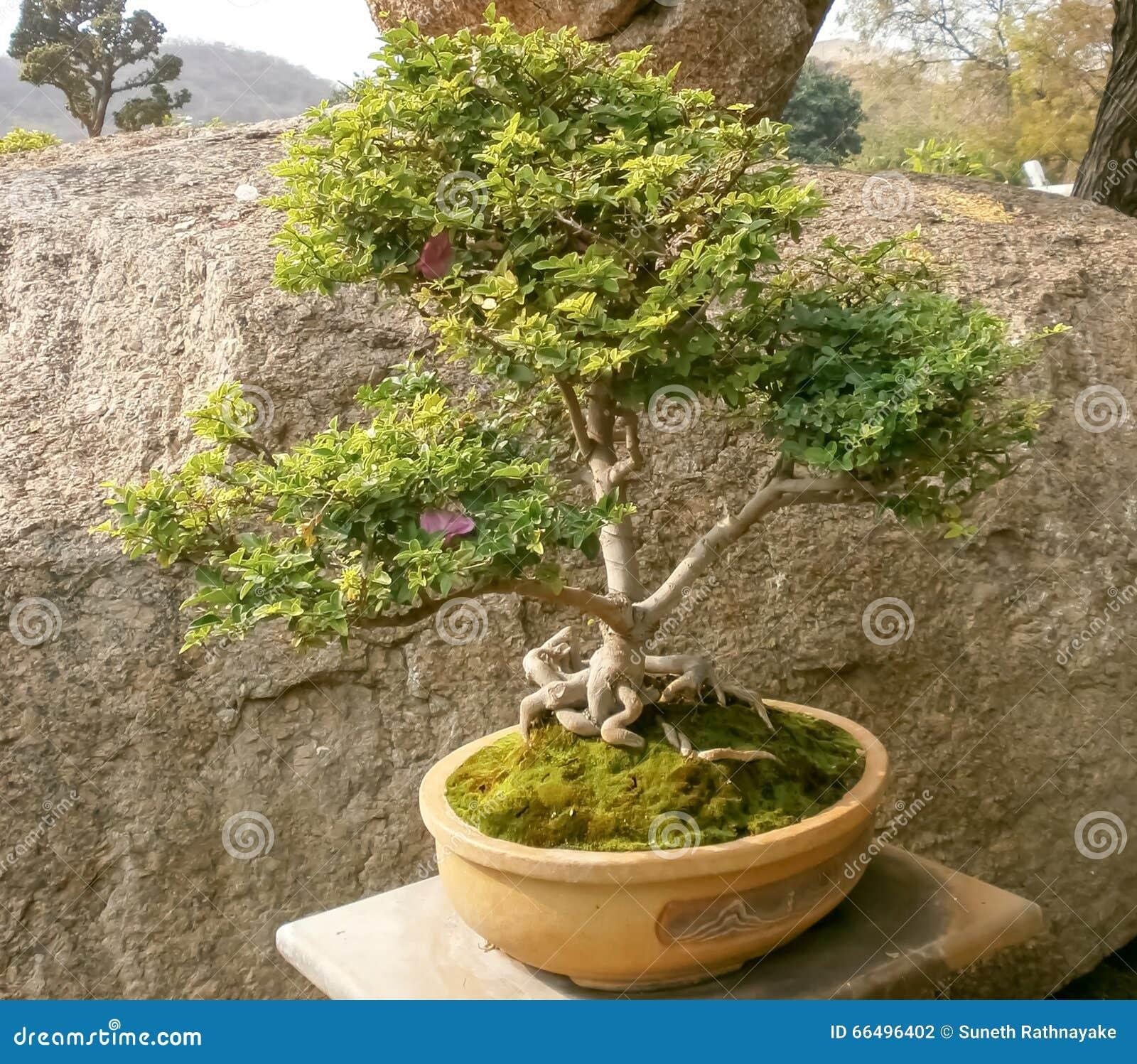 盆景树在庭院里