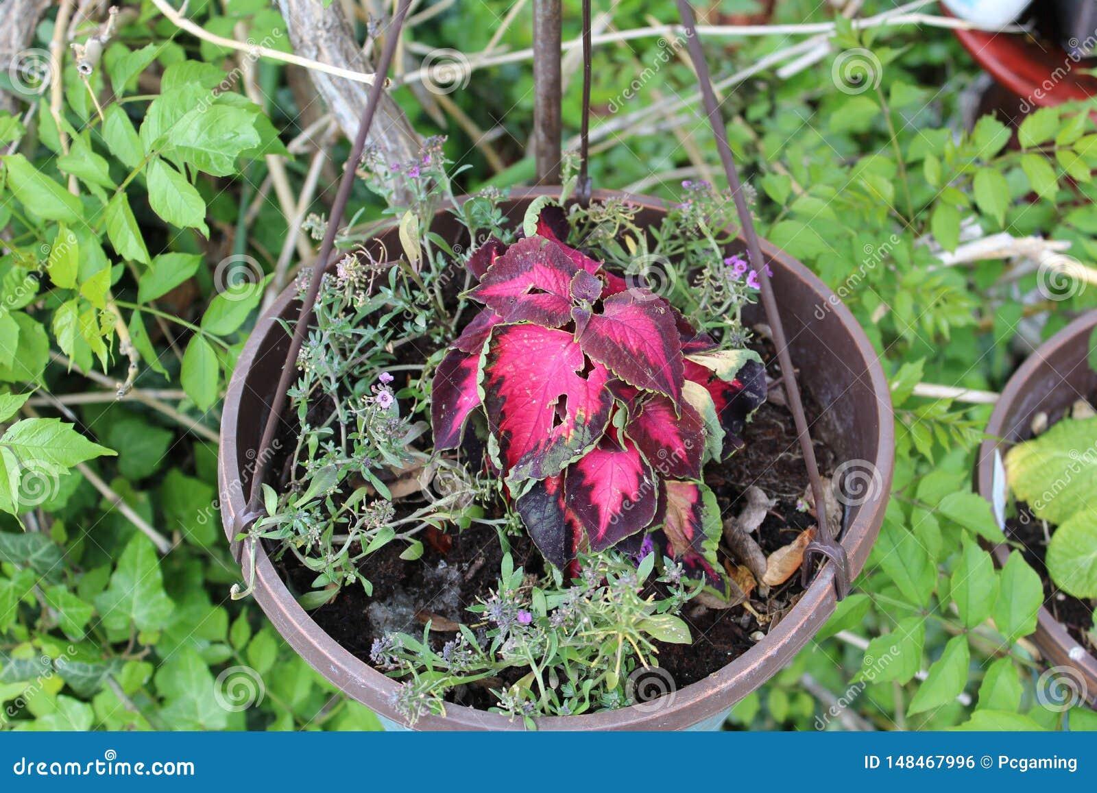 盆的红色花叶子