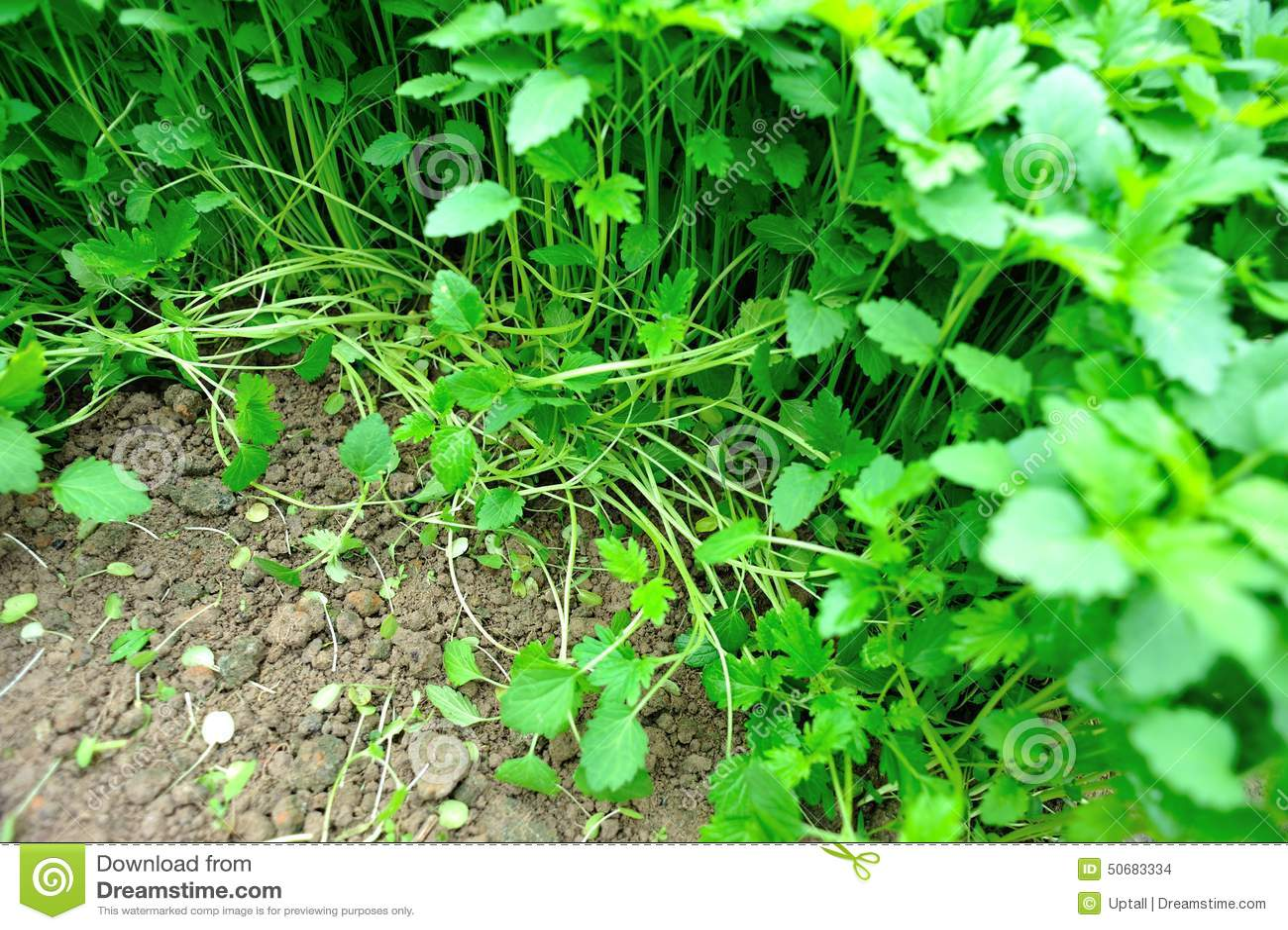 Download 益母草草本植物 库存照片. 图片 包括有 培养, 庄稼, 颜色, 从事园艺, 工厂, 本质, 食物, 草本 - 50683334