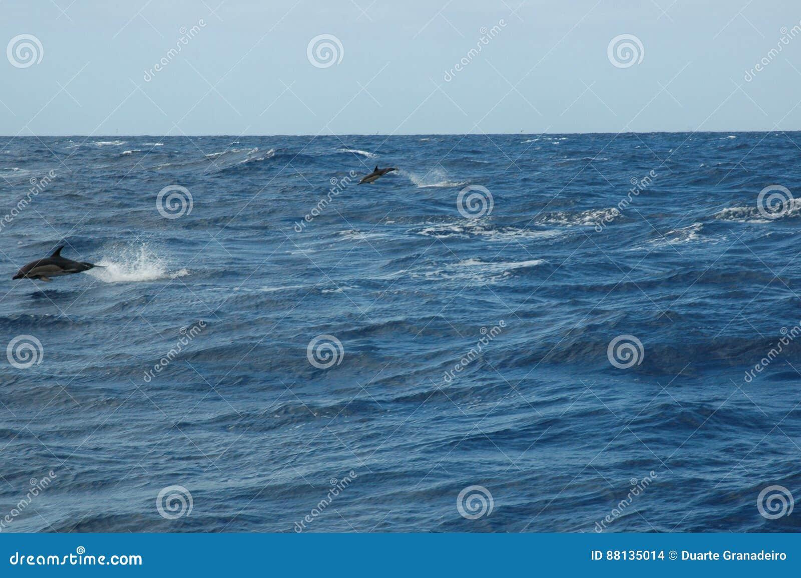 盐水海豚秀丽使用在大西洋的