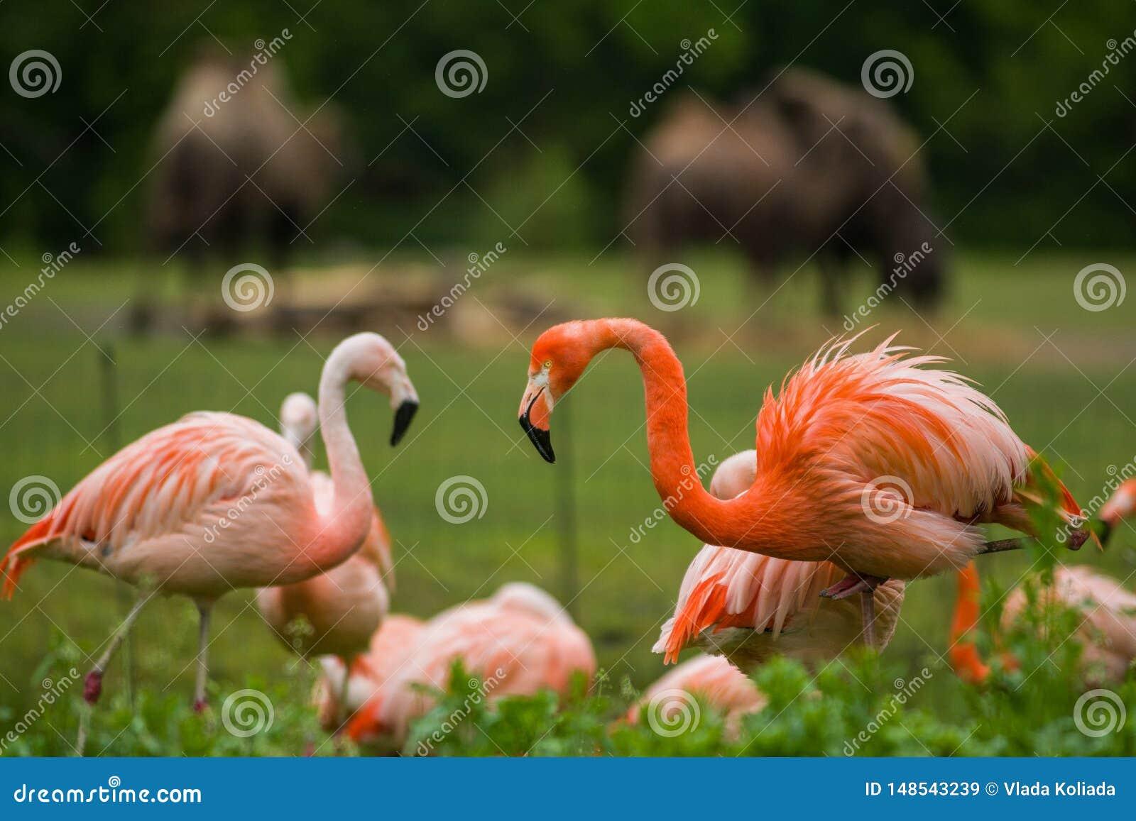盒明亮的鸟在湖附近的一个绿色草甸 异乎寻常的火鸟饱和了桃红色和橘黄色与蓬松羽毛