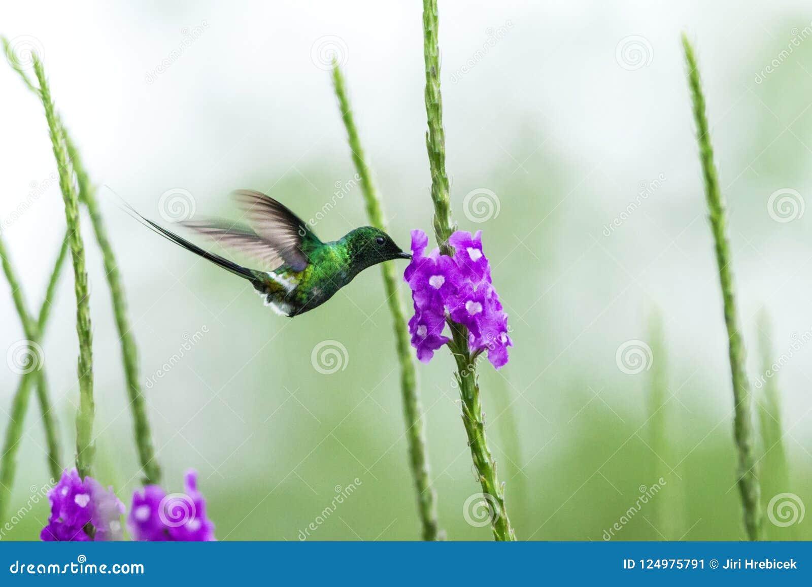 盘旋在紫罗兰色花,从山热带森林,哥斯达黎加,微小的美丽的蜂鸟的鸟旁边的绿色thorntail