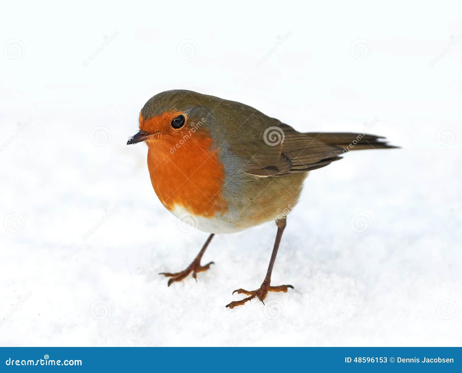 画眉欧洲知更鸟rubecula