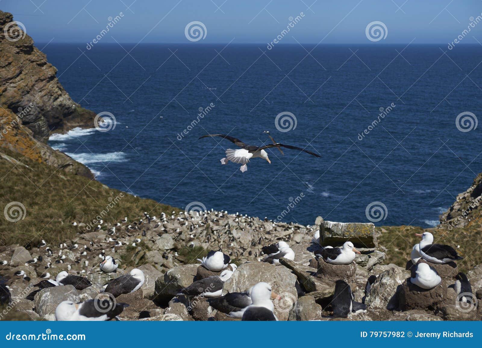 黑眉毛的信天翁和南部的一起筑巢Rockhopper的企鹅
