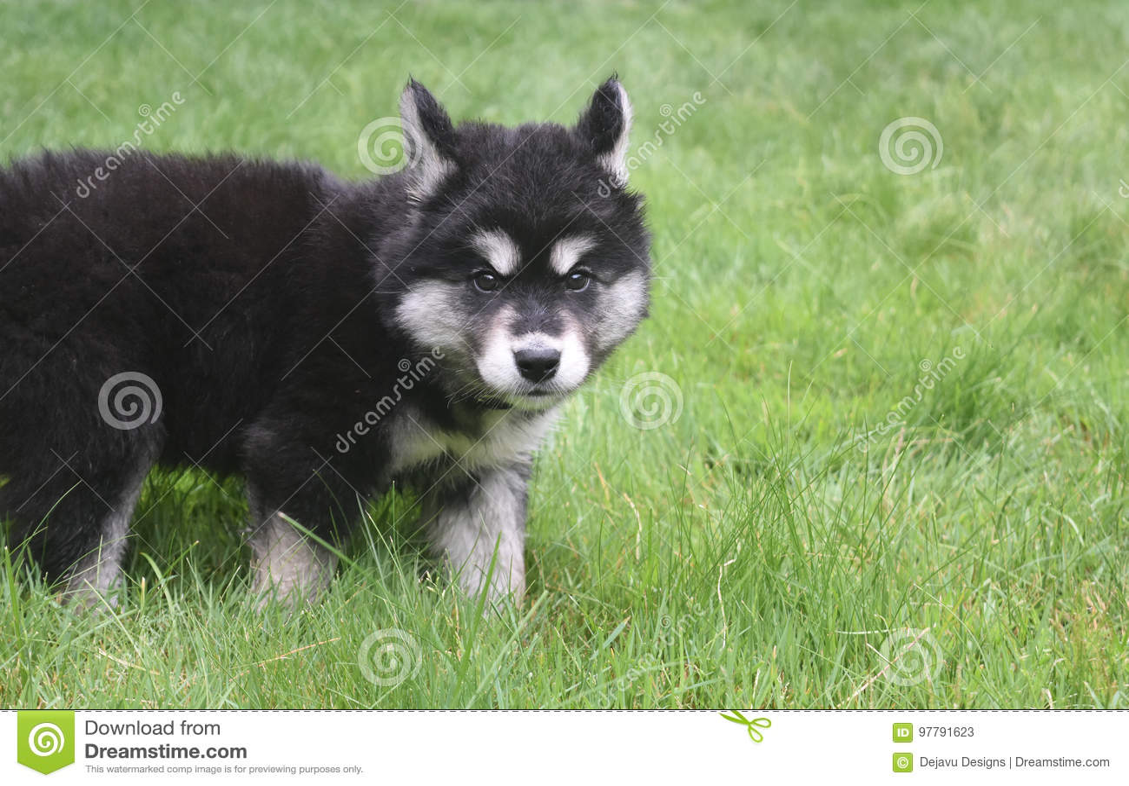 看一少许紧张的Alusky小狗和谨慎