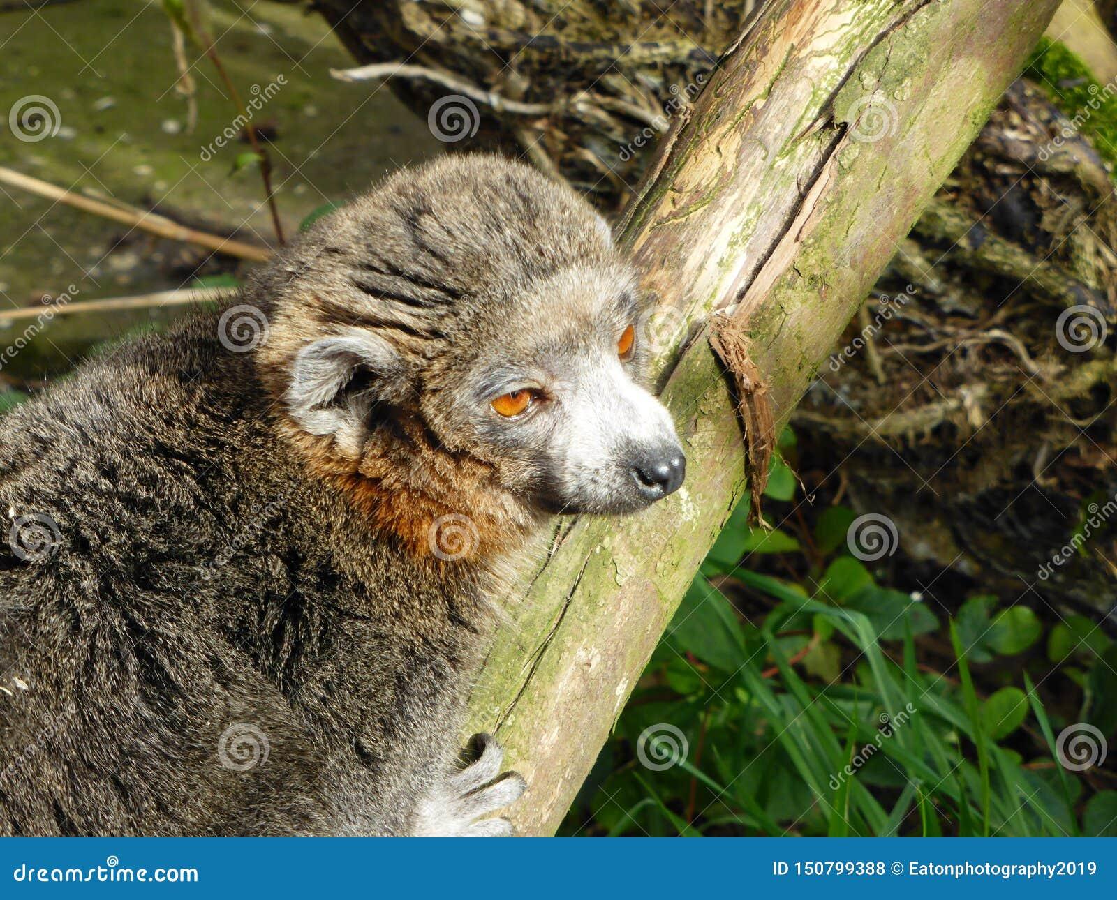 看世界的被加冠的狐猴