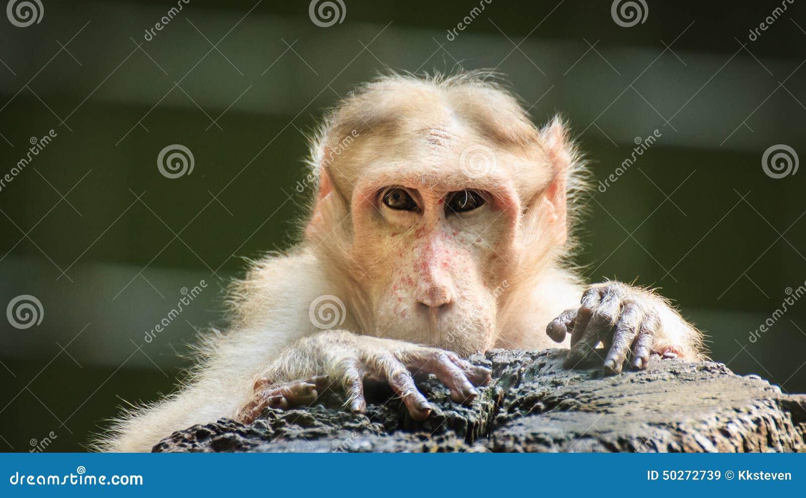 猴子为什么跟人�y.b9`�_看人的猴子
