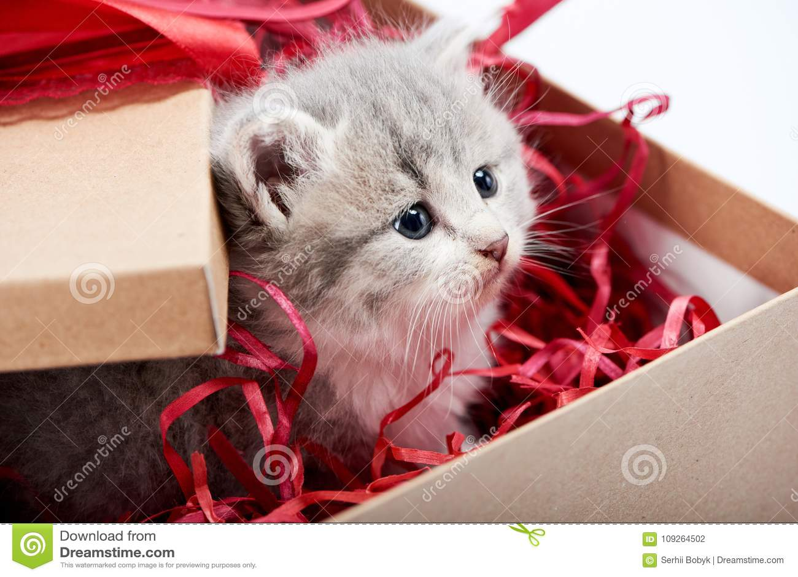 看从装饰的纸板生日箱子的小的好奇灰色蓬松小猫是逗人喜爱的存在为特殊场合