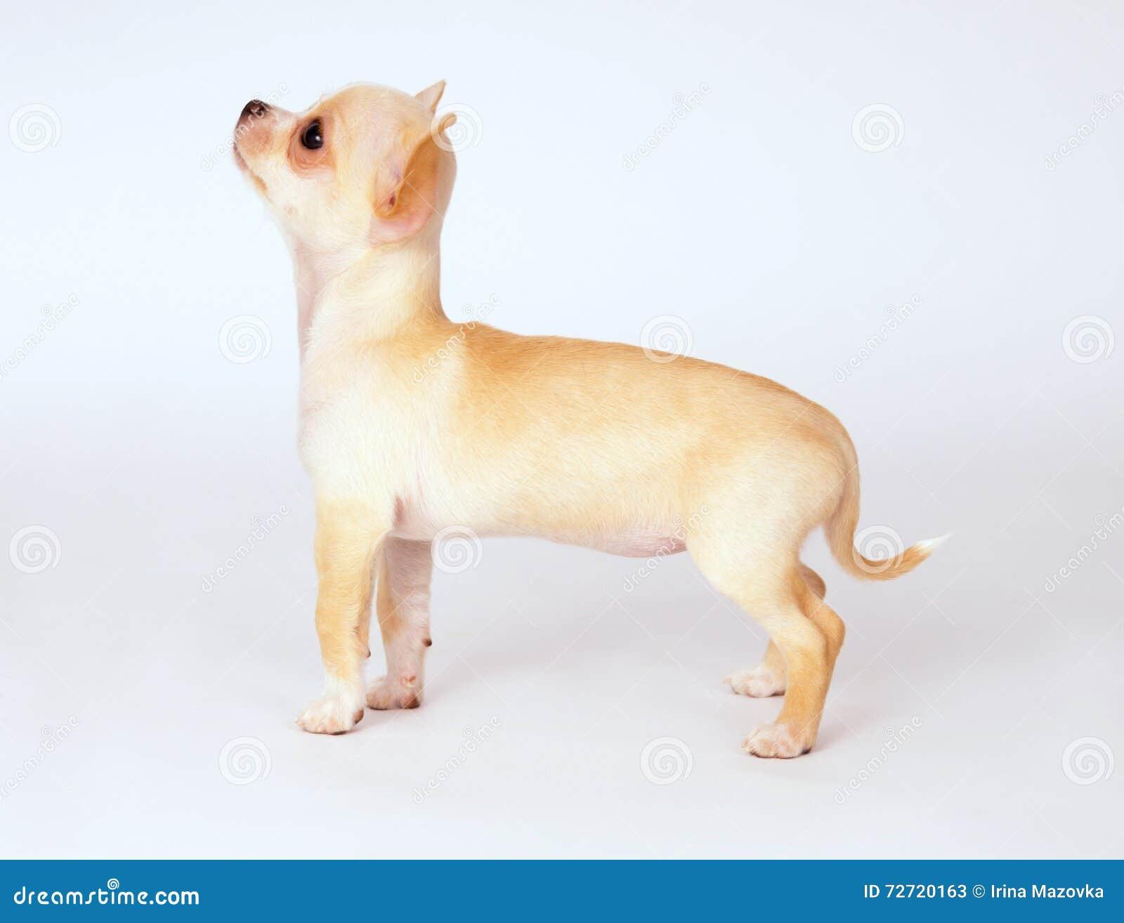 看在上面的小的白色小狗奇瓦瓦狗