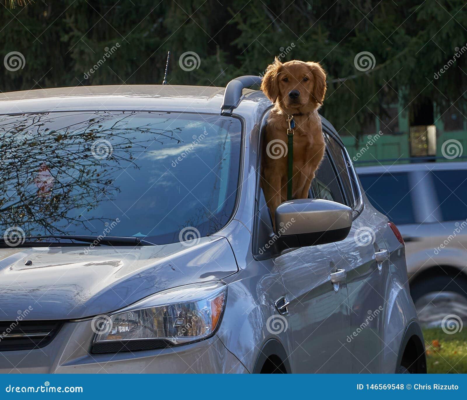 看在汽车外面的金毛猎犬