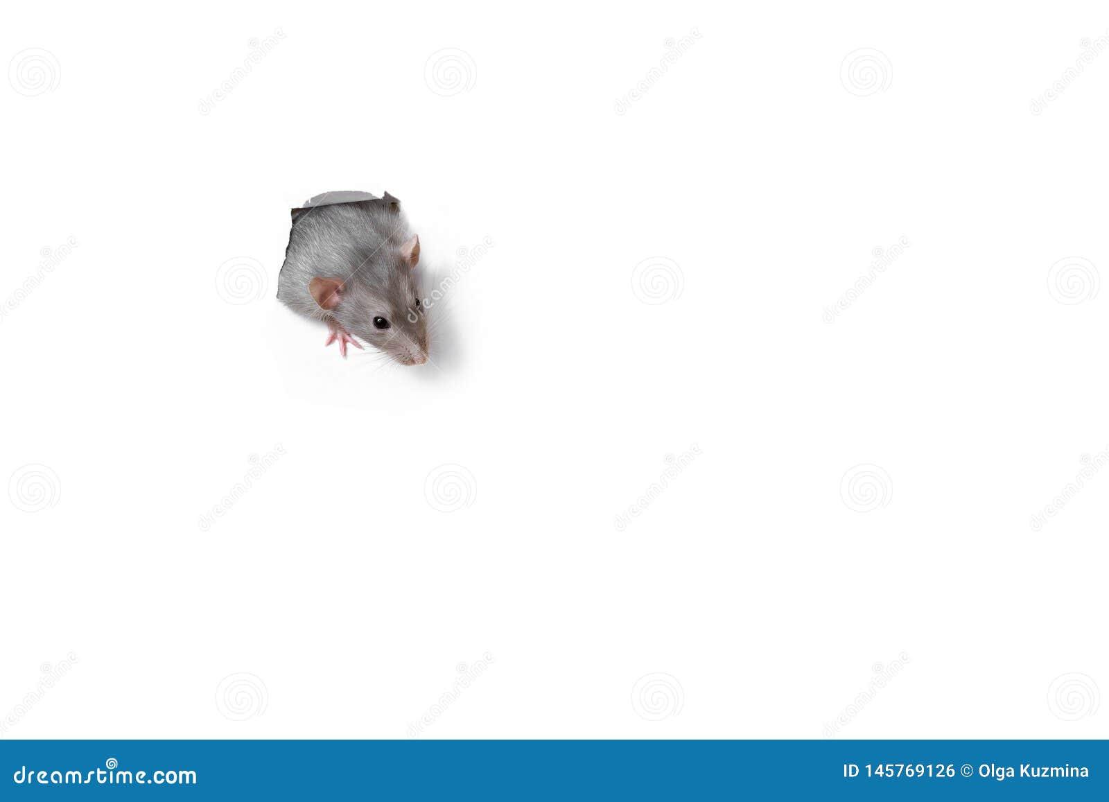 看在白皮书的孔外面的逗人喜爱的滑稽的鼠 ??-??dambo