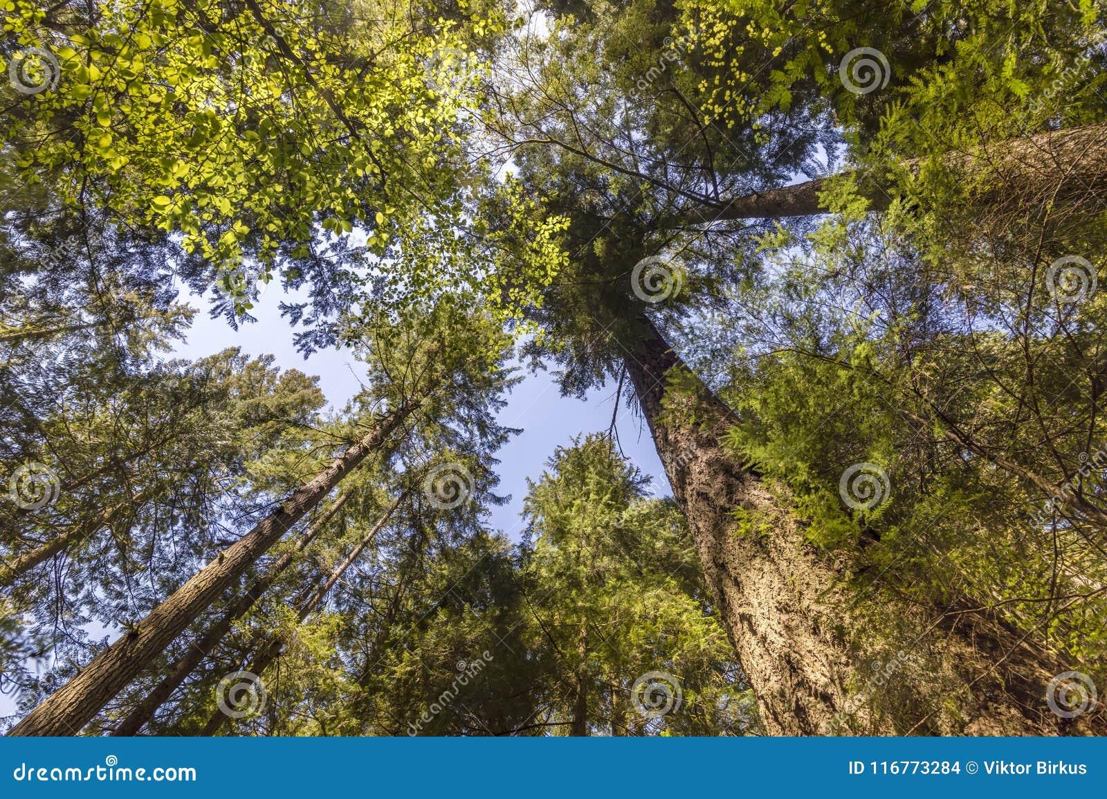 看法对与绿色叶子的树干向上从下面加冠ri
