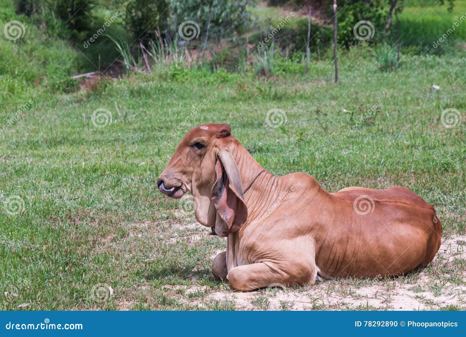 看照相机的小的母牛