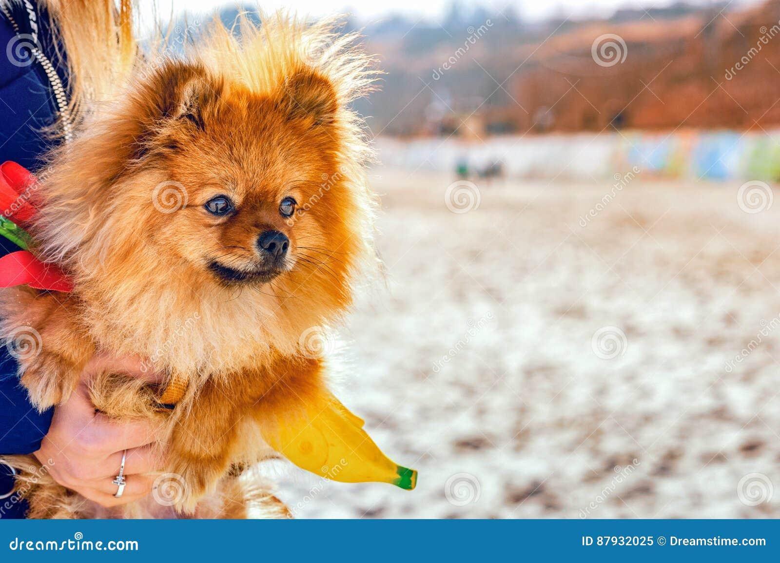 看的波美丝毛狗坐她的在海滩的手和