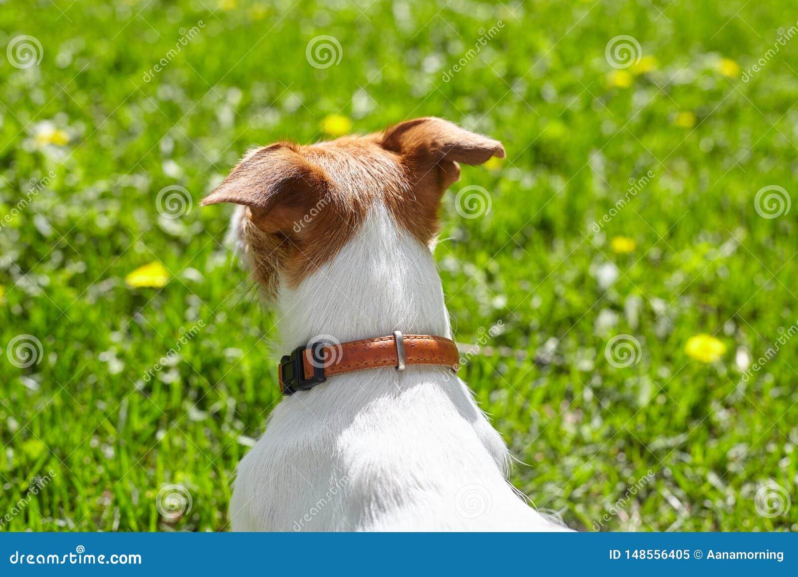 看绿色草坪的逗人喜爱的杰克罗素狗爱犬在一个晴朗的夏日