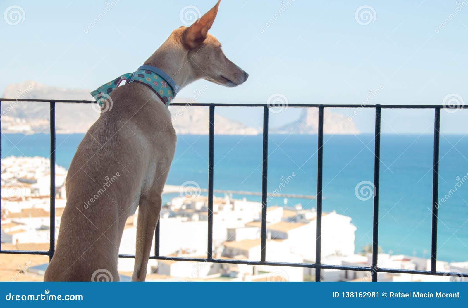 看风景的Podenco狗