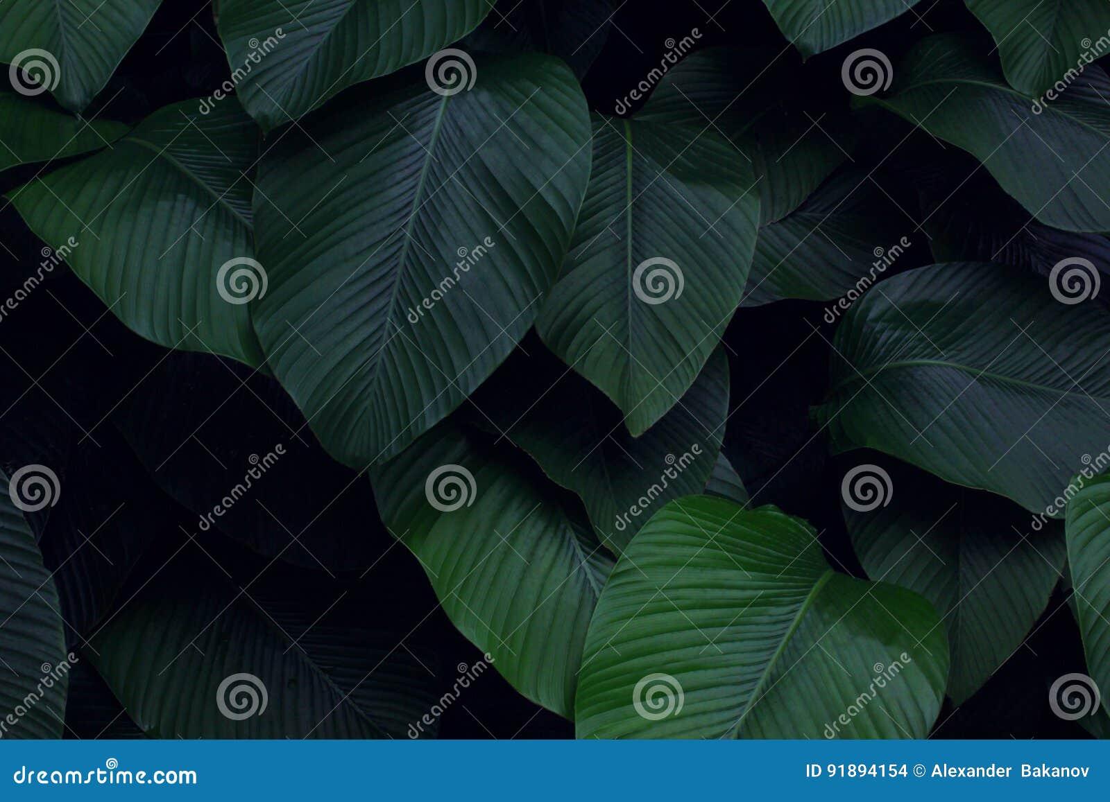 真正的热带叶子背景,密林叶子