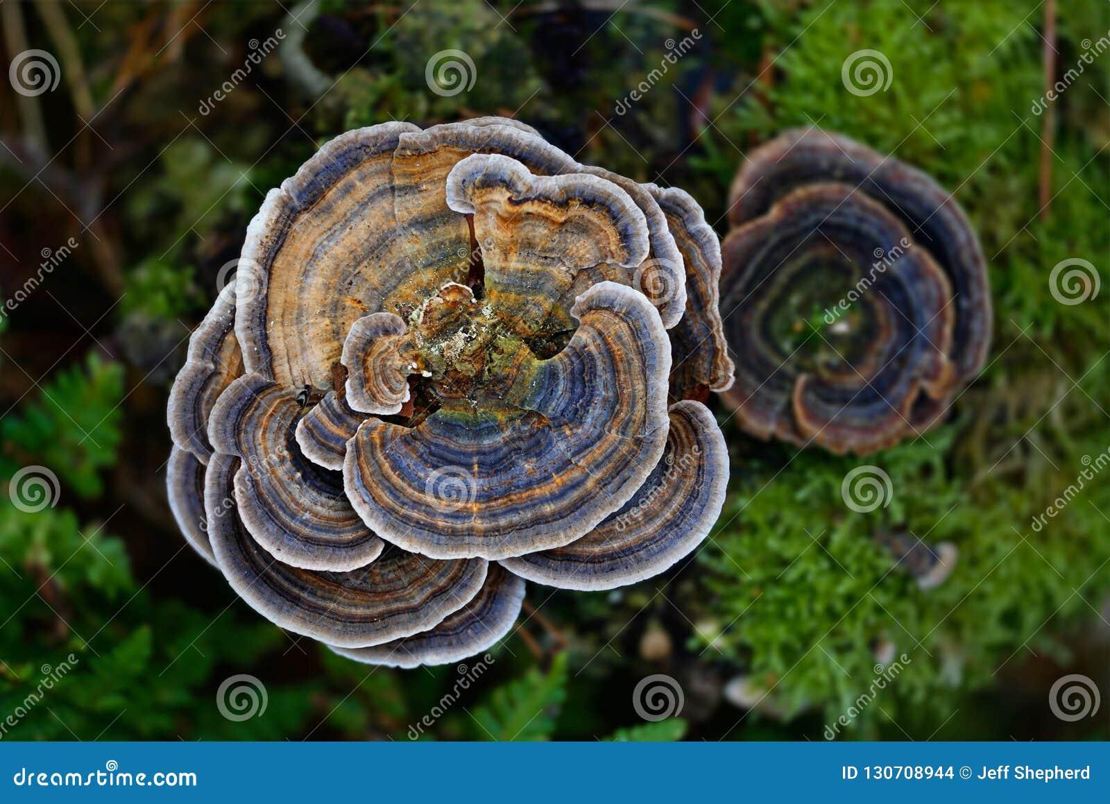 真菌turkeytail