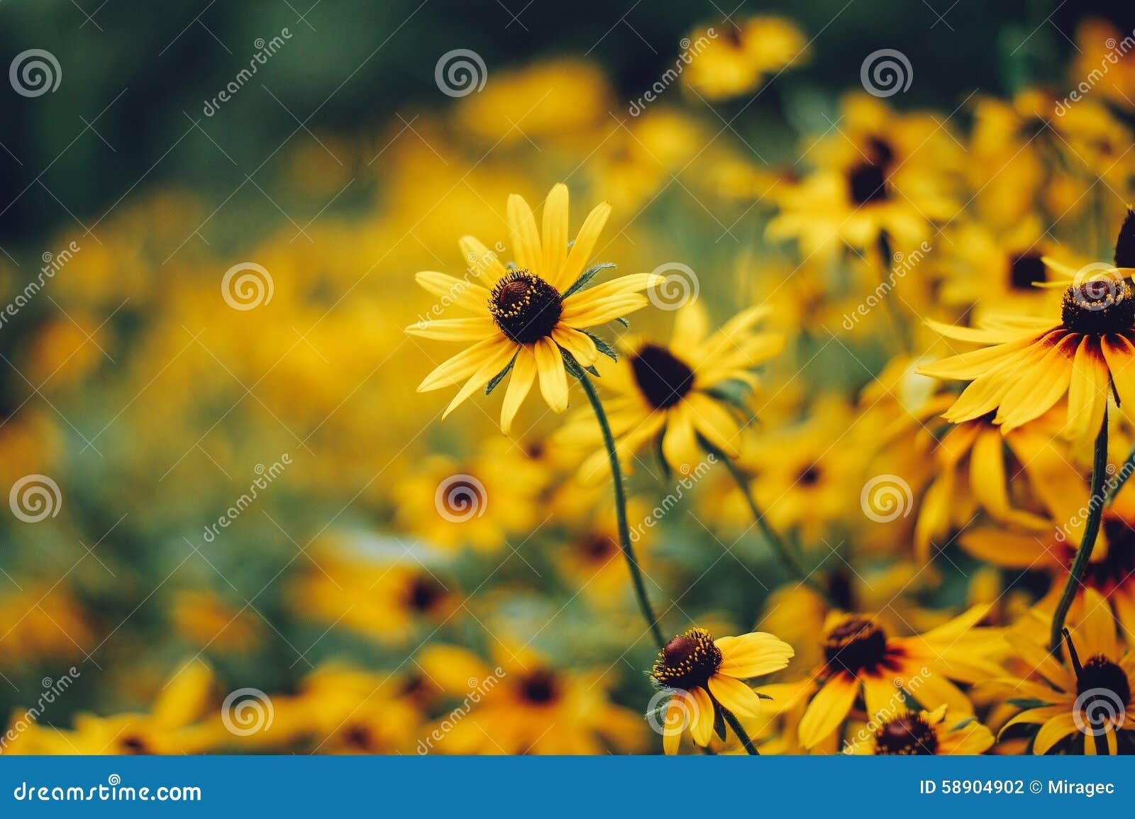 黑眼睛的hirta黄金菊susans