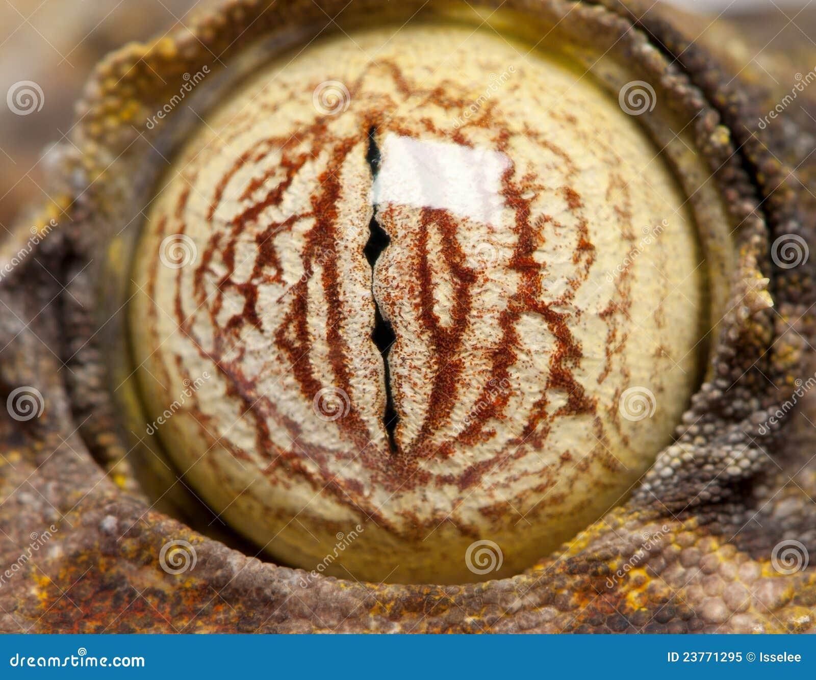 眼睛fimbriatus壁虎叶子盯梢了uroplatus