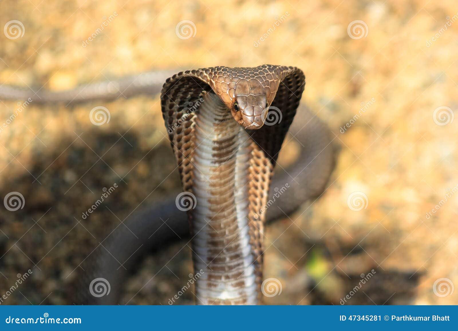 眼镜蛇蛇在印度