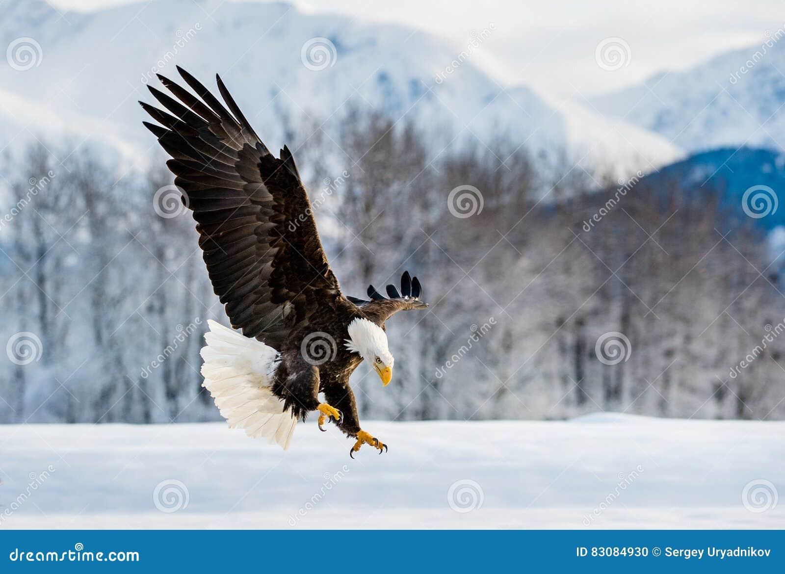 着陆成人白头鹰