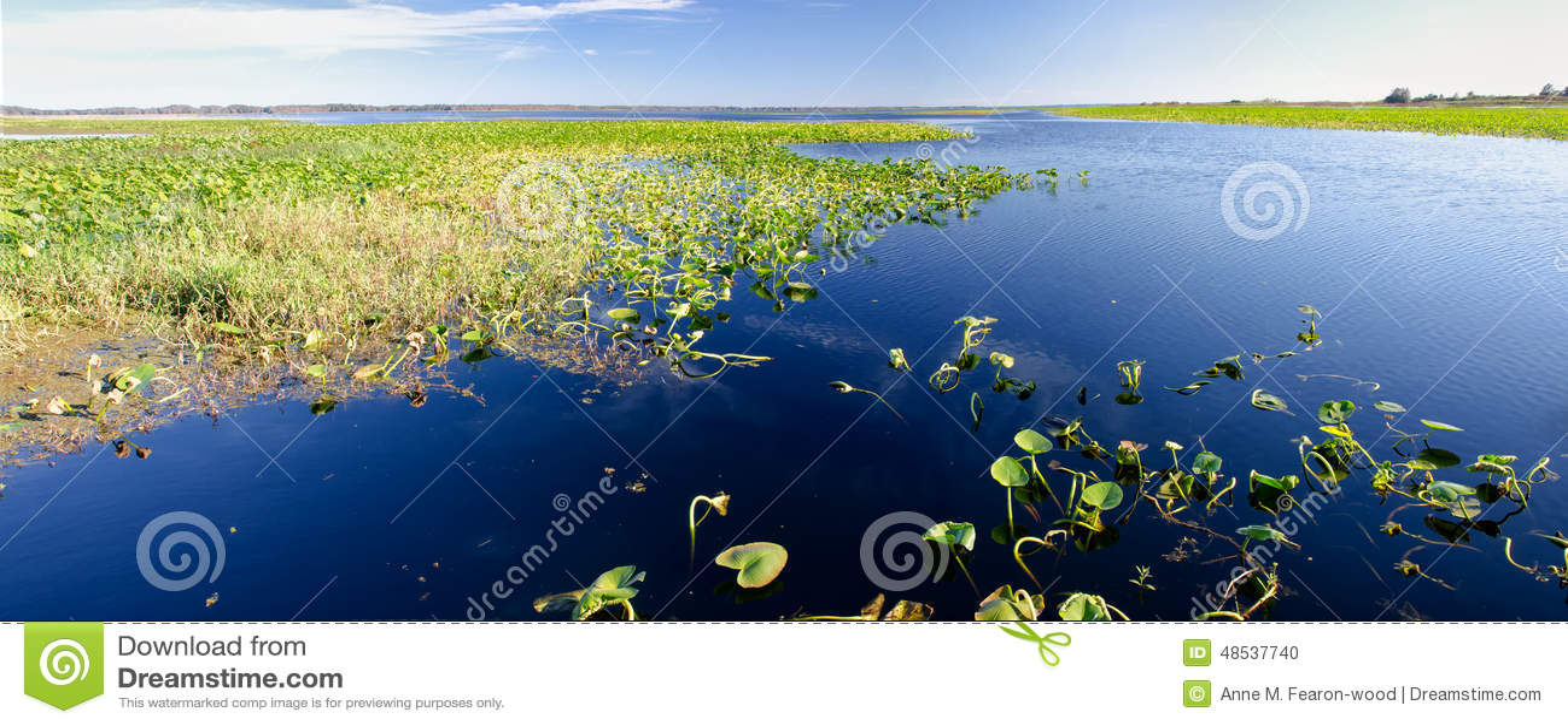 睡莲叶全景在一个淡水湖,佛罗里达的