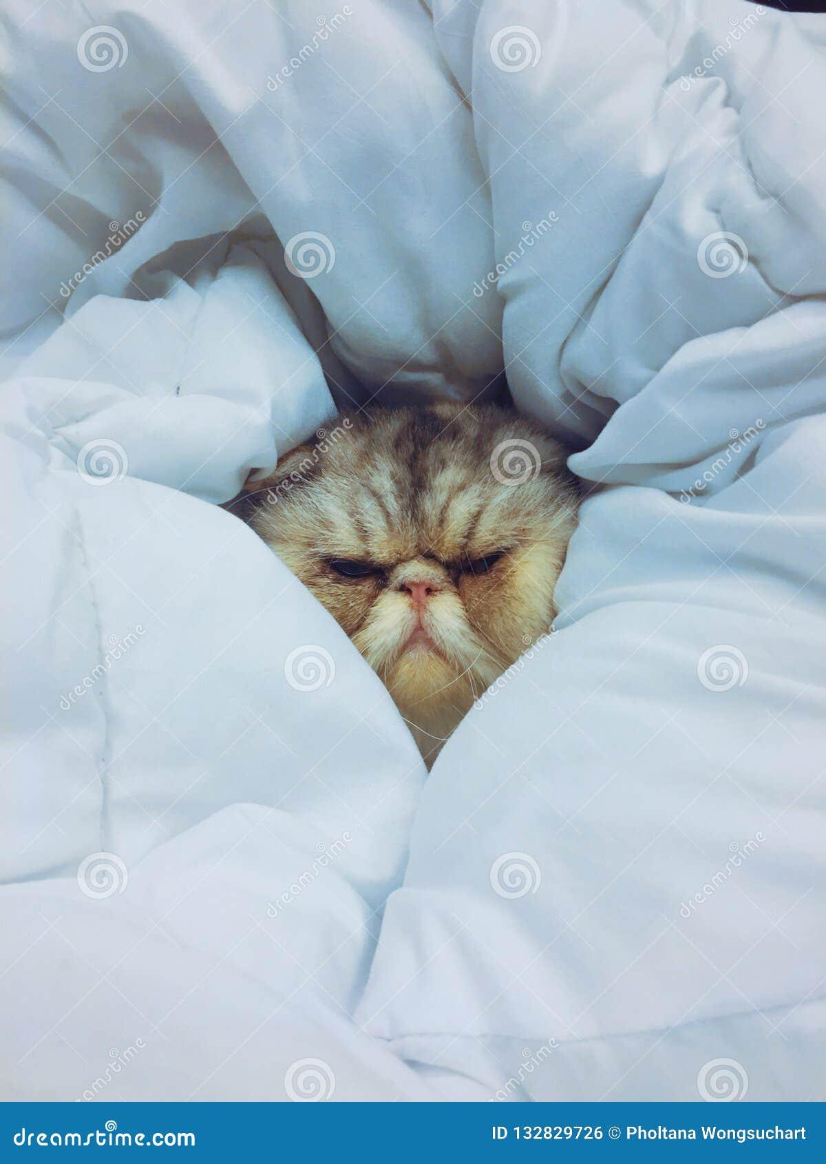 睡觉在毯子的一只异乎寻常的猫 它软和包裹