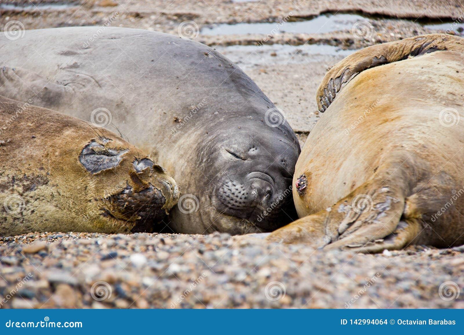 睡觉在海滩的海狗家庭在阿根廷