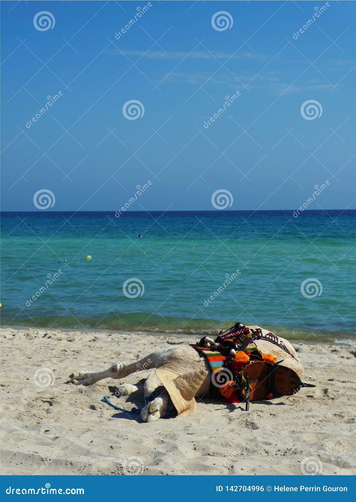 睡觉在海滩的骆驼