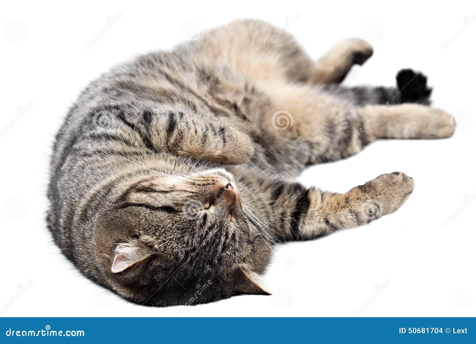 Download 睡觉在白色背景的灰色猫 查出 库存照片. 图片 包括有 食肉动物, 尾标, 灰色, 查找, 毛皮, 耳朵 - 50681704