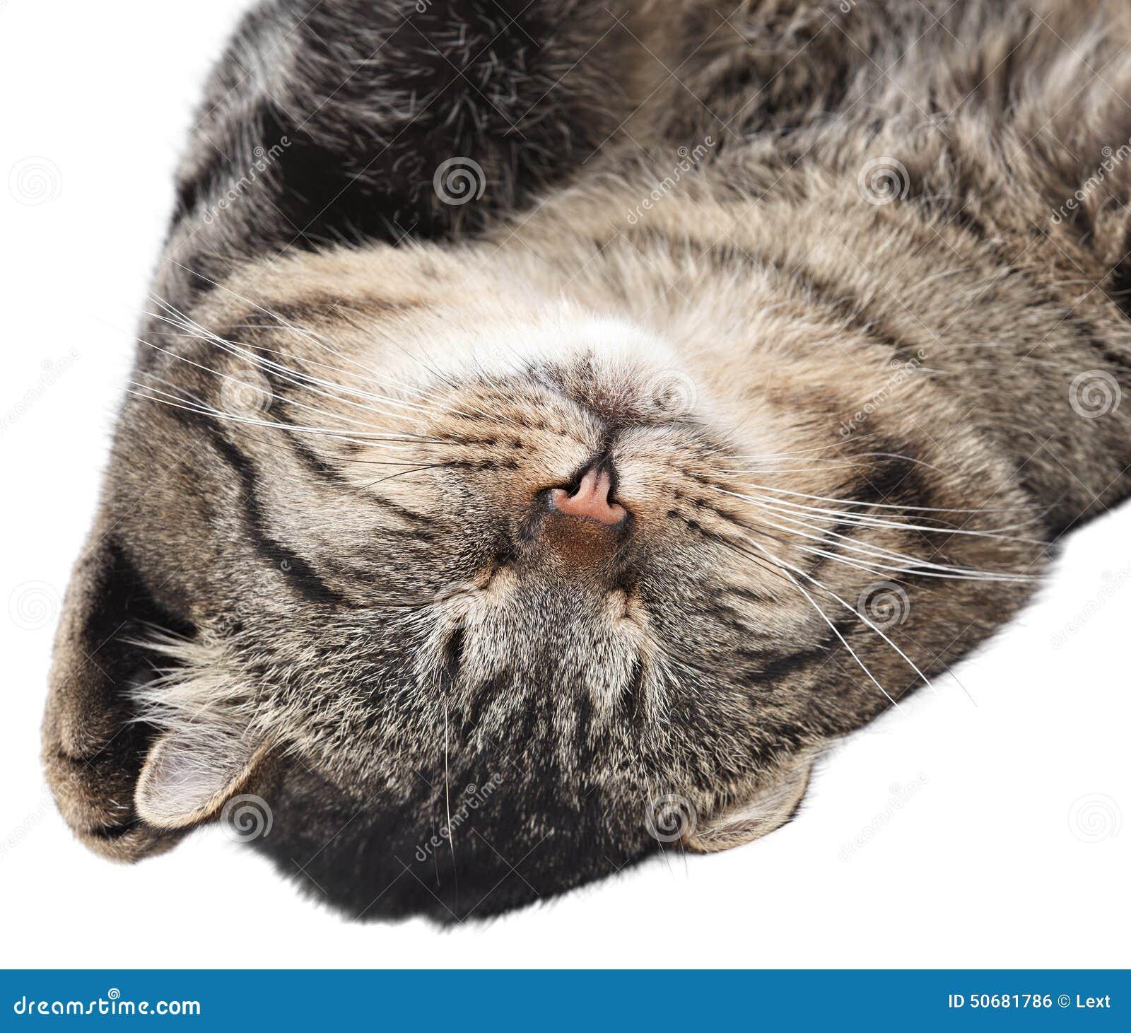 Download 睡觉在白色背景的灰色猫 查出 库存照片. 图片 包括有 敬慕, 空白, 现有量, 耳朵, 灰色, 放置, 毛皮 - 50681786