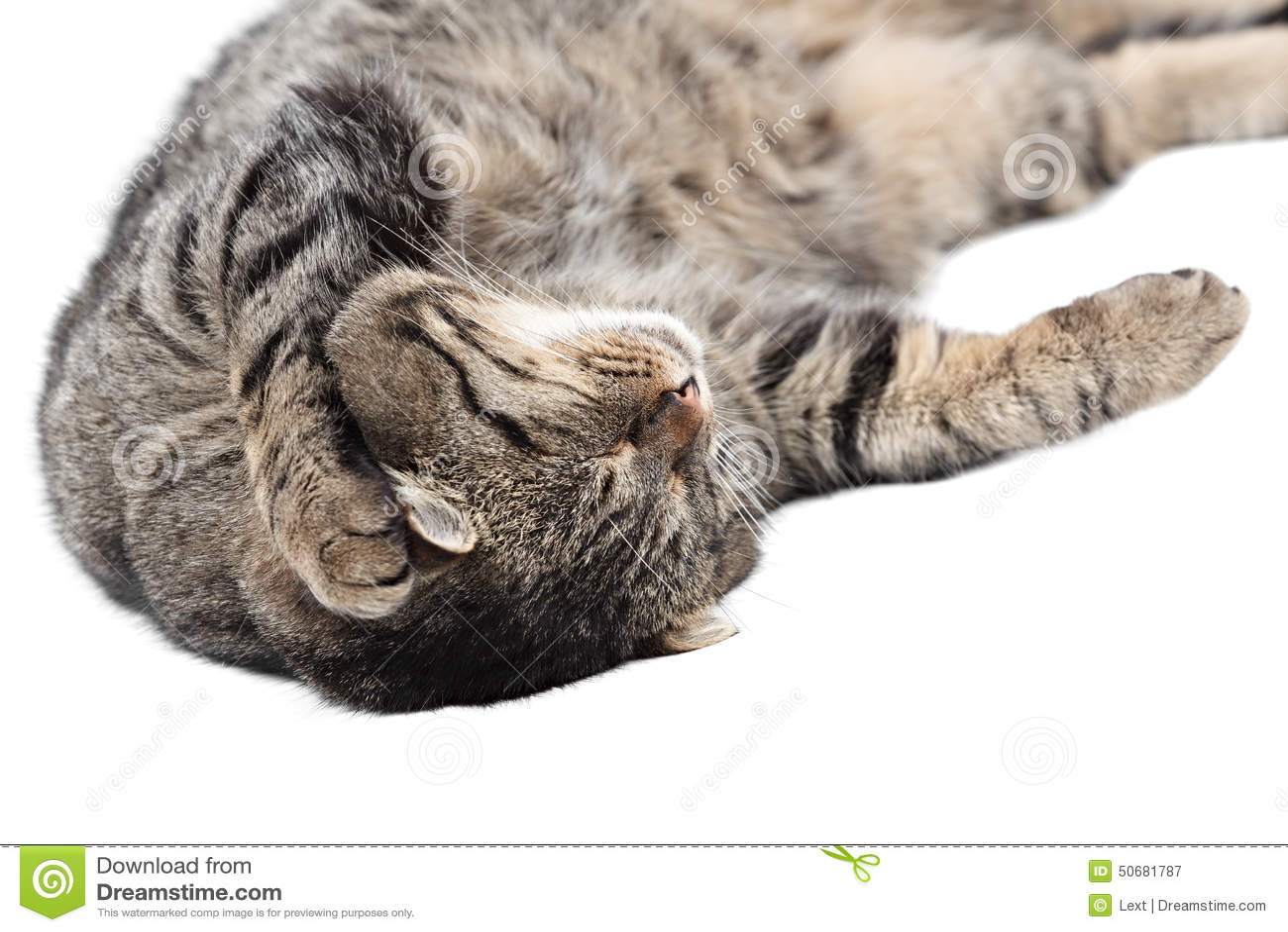 Download 睡觉在白色背景的灰色猫 查出 库存图片. 图片 包括有 敌意, 现有量, 宠物, 眼睛, 镶边, 背包, 耳朵 - 50681787